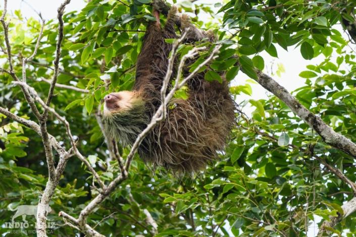 Reserva Indio maiz oso perezoso fauna